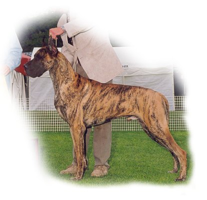 Banjo Bayridge Brindle2 male.jpg (33211 bytes)